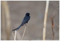 Black Drongo (कोतवाल, भुजंग) - Dicrurus macrocercus (jhureley1977) Tags: blackdrongo dicrurusmacrocercus कोतवाल भुजंग birds birding indiabirds jabalpur jabalpurbirds ashjhureley avibase naturesvoice bbcspringwatch rspbbirders orientbirdclub ashutoshjhureley rspb