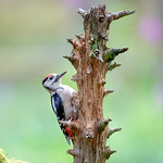 Grteat Spotted Woodpecker ( juv) thumbnail