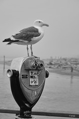 Twenty five Cent View! (creepingvinesimages) Tags: hmm monochrome blackandwhite bw seagull bird water ocean pier taftbeach outdoors nikon d7000 pse14 topaz