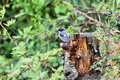 Grey Bushchat (PB2_2981) (Param-Roving-Photog) Tags: greywhitebird bushchat bird wildlife nature treestump perched oldworld flycatcher forest jungle hills mountains himachal naldehra birding birdphotography wildlifephotographer
