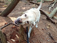 Gracie chewing on an old tree (walneylad) Tags: gracie dog canine pet puppy lab labrador labradorretriever cute august summer afternoon eastviewpark