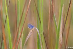 Belle matinée (Ste Fan54) Tags: papillon bleu fabuleuse