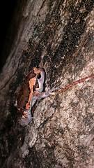 Banded Bullfrog (Kaloula pulchra) (GC G@n) Tags: banded bullfrog kaloula pulchra microhylidae