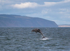 Bottlenosed Dolphin (Colin Rigney) Tags: nature wildlife colinrigney outdoors outside wild canon scotland scottishwildlife bottlenoseddolphin dolphins jumping leaping marine chanonrypoint