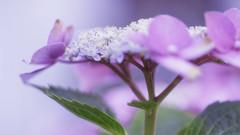 No Butterflys (Renate Bomm) Tags: 7dwf blumenundpflanzen ef100mmf28lusm flora hortensie renatebomm rosa sommer sonyilce6000 pink hydrangea