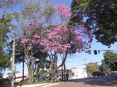 DSC00711 Ipê-Rosa (Tabebuia Impetiginosa) (familiapratta) Tags: sony dschx100v hx100v iso100 natureza flor flores nature flower flowers