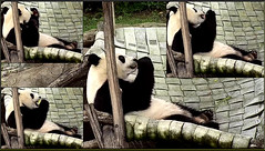 Bei Bei (Scrumpcious-yumcious-fruitilicious!) 2018-06-21 at 1.45.13–.46.29 (MyFoto:)) Tags: ccncby panda cub endangered vulnerable beibei smithsonian nationalzoo eating fruitie hammock