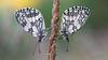 Schachbrettfalter (Melanargia galathea) Schlafgemeinschaft (AchimOWL) Tags: schmetterling insekt insect tier tiere animal makro macro outdoor pflanze wiese dmcgh5 gh5 natur nature lumix panasonic tagfalter postfocus ngc macrodreams schärfentiefe wildlife stack textur gras edelfalter damenbrett augenfalter schachbrett marbledwhite fauna kaiserstuhl tau tautropfen wassertropfen