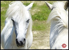 White Horses (FranzRobert) Tags: white horse wise pferde steppe see teich natur tiere anumals