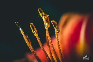 Cornes de Pollen