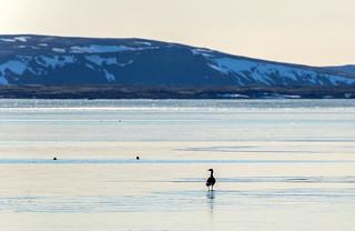 Greylag / Grágæs (Anser anser) on frozen lake Thingvallavatn, Iceland