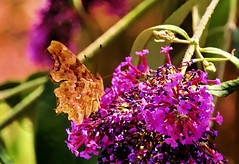 Comma underside (Fr Paul Hackett) Tags: butterfly buddleia shade sunshine flowers summer