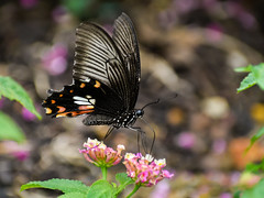 Common mormon (Robert-Ang) Tags: commonmormon insect wildlife nature jurongecogarden singapore