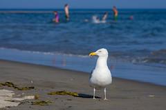 Gull; Popham Beach, Maine (Jody Roberts) Tags: gull seagull bird beach maine water