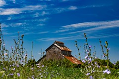 Holding Its Own (Images by MK) Tags: chicory agriculture abandon delapitated derelict deserted desolate deteriorating corncrib vines building rural rusty rusting rusted rust bluesky clouds flowering flowers