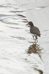 Spotted Sandpiper (neil.dalphin) Tags: yellow bird birds seashore waterbird waterfowl