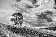 Tree, sheep and wall (Andy McDonald) Tags: trees sheep monochrome hillside blackwhite yorkshire wall sky field clouds