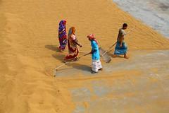 IMG_1041 Paddy yard (Shahina Haque) Tags: paddy yard canon bangladesh daylight world work