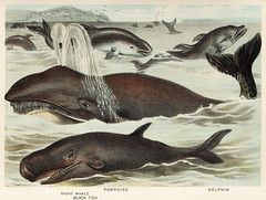 Blackfish, Porpoise, and Dolphin from Johnson's household book of nature (1880) by John Karst (1836-1922). (Free Public Domain Illustrations by rawpixel) Tags: animal animals antique blackfish bookofnature dolphin drawn fish handdrawing handdrawn john johnkarst johnsonhouseholdbookofnature johnsonshouseholdbookofnature karst life mammal mammals marine marinemammals nature ocean old porpoise publicdomain sea sketch vintage whale wild