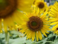 2018 Sunflower #2 (Yorkey&Rin) Tags: 2018 august em5markii flower japan kanagawa kawasaki macro olympus olympusm14150mmf4056ii p8140038 rin summer sunflower ヒマワリ 夏 川崎市 早野 八月 麻生区