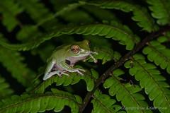 Endangered: The Round-snout Pygmy Frog, a Sri Lanka Endemic (Ian.Kate.Bruce's Wildlife) Tags: roundsnoutpygmyfrog pseudophilautusfemoralis rhacophoridae frog amphibian wildlife nature kandy srilanka ianbruce katebruce