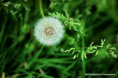 07 May 2018:  Stars on earth (RobinMSP) Tags: may2018c dailywalk spring nature flowers seeds dandelion easternshore grasses maryland