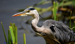 Grey Heron. (Explored). (spw6156 - Over 6,560,030 Views) Tags: grey heron copyright steve waterhouse explored