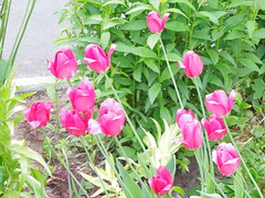 Tulips (cloversun19) Tags: garden flower macro tulip tulips bright flowers grass spring summer love story green pink warm romantic beauty glory happy positive blooming blossoming blossom bloom flowering june picture flowerimages image red may summerimage springimage plant onetulip color pollen flowerbed ground 2018 butterfly redflower dahlia vase