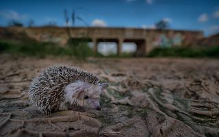 Hedgehog sands