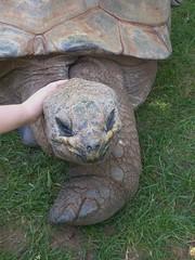 Aldabra Tortoise Reptile Gardens Rapid City SD (MisterQque) Tags: aldabratortoise tortoise reptile southdakota dakota blackhills rapidcity reptilegardens