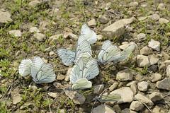 _DSC0225 (Me now0) Tags: nikond5300 micronikkor40mm macro closeup butterfly europe bulgaria язовирстудена кладница2344 studenadam kladnitsa2344