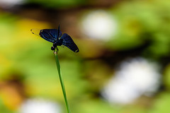睡蓮の池にてーIn a water lily pond (kurumaebi) Tags: yamaguchi 秋穂 山口市 nikon d750 睡蓮 スイレン 夏 summer waterlily トンボ dragonfly