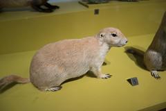 Black-tailed Prairie Dog (quinet) Tags: 2017 canada ontario präparatoren rom royalontariomuseum toronto empaillage museum musée naturalhistory taxidermy 124