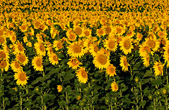 A Field of Sunflowers (Colorado Sands) Tags: flowers sunflower plant colorado yellow sandraleidholdt crop usa flower agriculture blossom