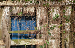 creeping vine inside a barn (annapolis_rose) Tags: barn vine ivy creeping dilapidated delta insidebarn