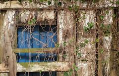 creeping vine inside a barn (annapolis_rose) Tags: barn vine ivy creeping dilapidated delta insidebarn