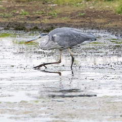 heron-9794 (D4vidL) Tags: canon 80d sigma 150600 grey heron whisby lakes
