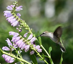 Ruby-throated hummingbird feeding from an obedient plant (U.S. Fish and Wildlife Service - Midwest Region) Tags: hummingbird rubythroatedhummingbird plant native flower bird animal wildlife nature august 2018 summer michigan mi pollinator feeding eating food nectar