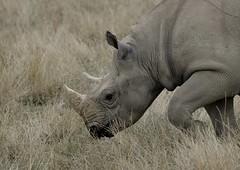 YWP7383 (davefieldson) Tags: ywp yorkshirewildlifepark outside outdoor openair animals wildlife doncaster rhino