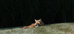 Catching some rays (Donald.Gallagher) Tags: animals backyard de delaware foxes lenstagger mammals nature newcastlecounty northamerica pikecreek public redfox summer typecolor typelightroom typeshutterbuttonfocus typetelephoto usa woodcreek