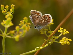 Female Common Blue (SarahW66) Tags: butterflyonflower commonblue butterflies butterflyonplant butterfly insectphotography insect insectonflower macroinsect sigmamacro macrolens macrophotography macrobutterfly canon80d sigma105mm sigmanature yellow blue