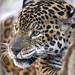 A nice portrait of the male jaguar