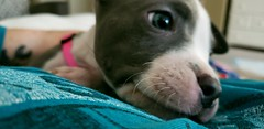Morning (Pro Photo Photography) Tags: pitbull pit bully pitboxermix puppy elliemae dog pet pets clampett fun play