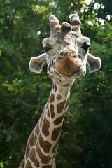 DSC06425 (Christine Gerhardt) Tags: deutschland giraffe stuttgart tierfoto wilhelma zoo