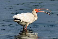 WHITE IBIS 50 (k.nanney) Tags: whiteibis eudocimusalbus ibis bird wadingbirds waterbirds texasbirds texaswildlife northcentraltexas villagecreekdryingbeds arlington texas tx tarrantcounty nikon d500 nikkor300mm afsnikkor300mmf4epfedvr tc14eiii kennethnanney kennanney nanney
