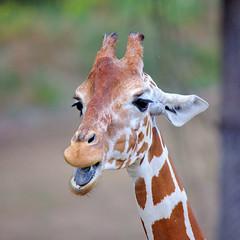 EOS 6D Mark II_1845 (Dave Melling) Tags: zoo reticulatedgiraffe brno somaligiraffe giraffacamelopardalisreticulata giraffe