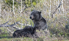 Nursing Bear (moelynphotos) Tags: grizzlybear bear brownbear animalfamily animalwildlife motherandchild sow cub bearcub nursing twoanimals