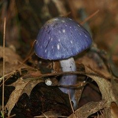 Mushroom, Pine Grove Preserve (Bill Bunn) Tags: mushroom falmouth maine