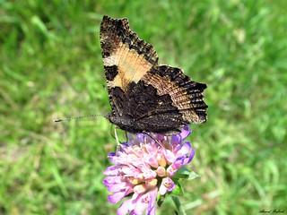 Butterfly 1713