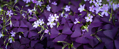 50 Shades of Violet (dlerps) Tags: altona carlzeiss city daniellerps deutschland germany hamburg lerps norddeutschland northerngermany sony sonyalpha sonyalpha99ii urban lerpsphotography purple violet plants plant blooming bloom blossoms flower flowers clover treefoil klee zierklee nature